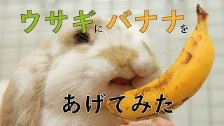 【ブサかわ!!】ウサギにバナナをあげてみた ホーランドロップイヤーの赤ちゃんRabbit eating banana