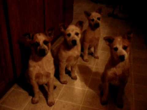 Red Heeler Puppies Are So Smart