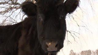 На сайте знакомств появилось объявление о поиске жениха для свердловской коровы