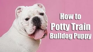 How To Train Bulldog : How To Potty Train A Bulldog Puppy