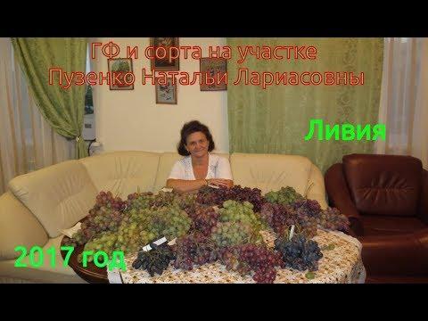 Ливия- очень ранний сорт винограда, с высоким сахаром и мускатом (Пузенко Наталья Лариасовна)