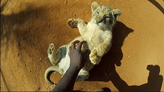 Can You Have a Pet Lion?