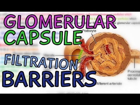 The Glomerular Capsule - Glomerulus - Filtration Barriers - Podocytes - Fenestrae