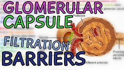 hqdefault - How Many Layers Compose The Glomerular Capsule Of The Kidney