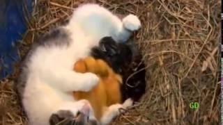 Кошка любит и котят, и утят одинаково