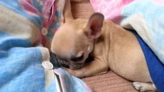 French Bulldog Puppy Bites Button