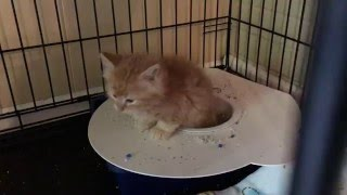SMARTEST KITTEN using The Purrfect Potty