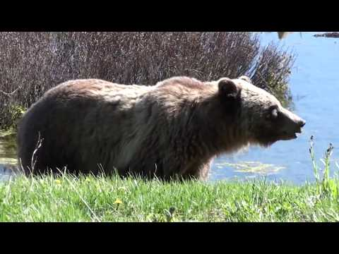 Grizzly Bear and Moose near Yellowstone National Park, WY, USA