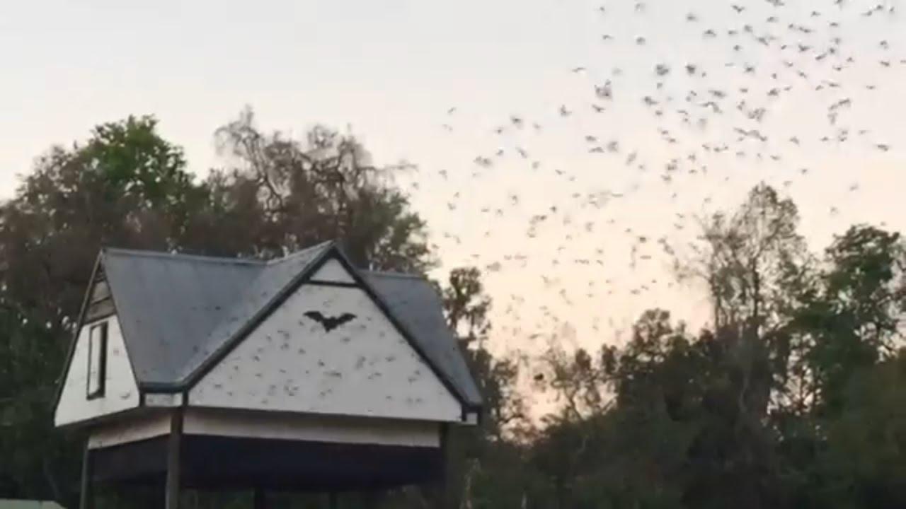 Bats Leaving Bat House At Univ Of Florida 03 20 17