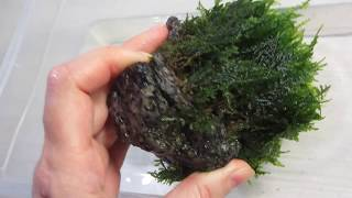 приматываю яванский мох к камням