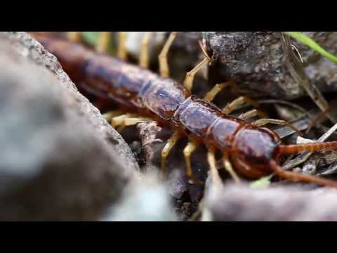 stone centipede lithobius forficatus youtube. Black Bedroom Furniture Sets. Home Design Ideas
