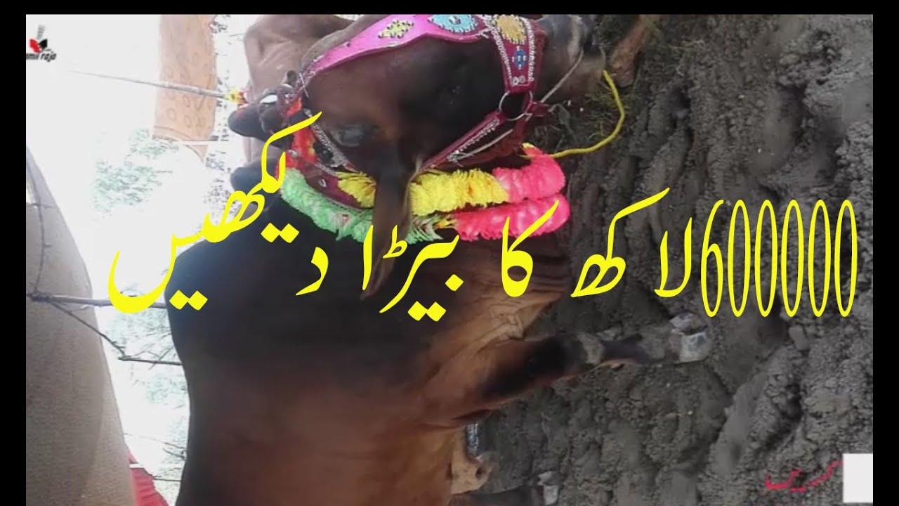 Bakra Mandi kurbani ka ye beda mein kya khasiyat hai kya ye beda 600000 lakh ka hai by jamil raja