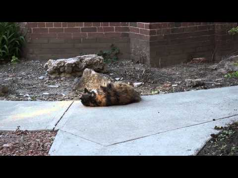 My calico Manx cat rolling around outside. Ends with a bang!