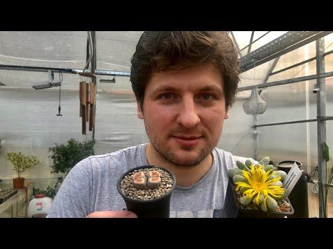 Пересадка Литопса (Lithops), Конофитума (Conophytum) и других Мезембриантемовых Mesembryanthemaceae