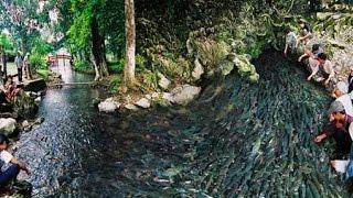 Chuyện lạ: Hàng vạn con cá không bao giờ đi xa khỏi cửa suối (bản mới 2015)