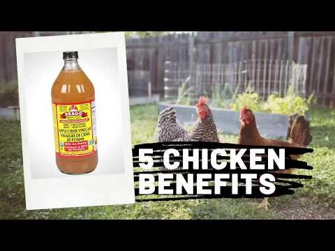 top-5-apple-cider-vinegar-benefits-|chickens|