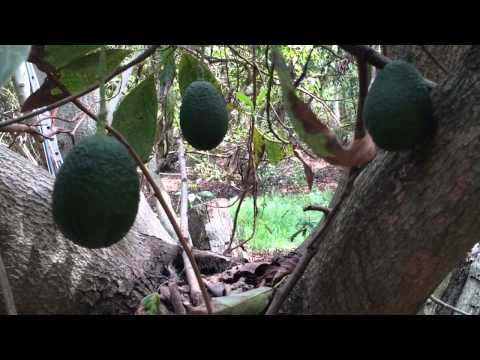 Harvest of the Month -  Peewee Avocado