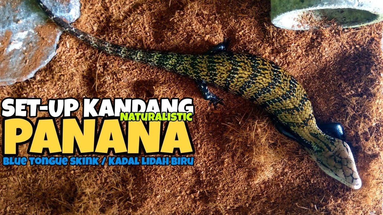 SET UP Kandang Panana / Blue Tongue Skink / Kadal Lidah Biru Modal Rp65ribu!!!