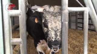 L'insémination bovine en Alsace