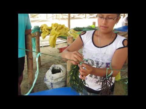 Sustainable Seaweed mariculture of  Kappaphycus alvarezii in Ecuador