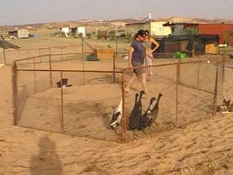 download 'Nardo Herding Ducks