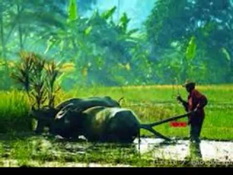 Sunda Music Therapy for Relaxation,  rice fields background, Indonesia