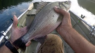BIG MASSIVE TROPHY WHITE PERCH with FAST SOLID DROP DOWN WORM FISHING - STRAIGHT THROUGH!