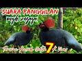 Suara Panggilan Puyuh Sengayan Mix Sg Pulot  Mp3 - Mp4 Download