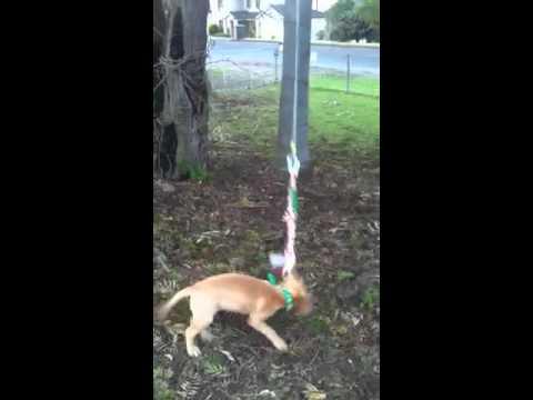 APBT Red Nose Pitbull Puppy SPRING POLE 4months ZEUS