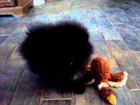 Tiny Black Teddy Bear Faced Pomeranian For Sale From Thebombpomscom