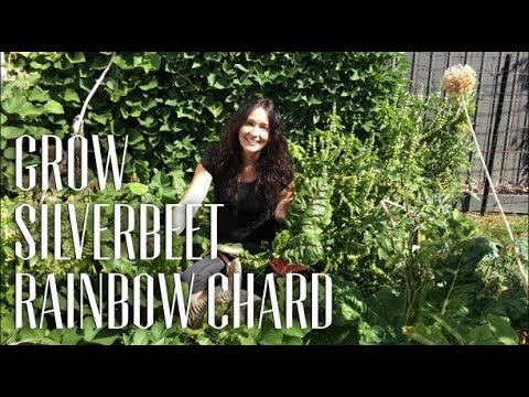 How to Grow Silverbeet, Swiss Chard, Rainbow Chard
