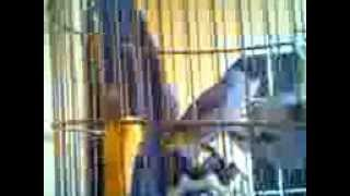 Phim | chim bông lau của Siêu Nhân Mít Đà Lạt | chim bong lau cua Sieu Nhan Mit Da Lat