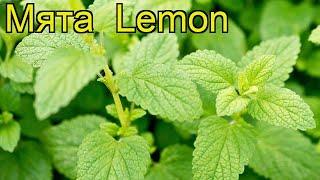 Мята лимон (Мята Lemon). Краткий обзор, описание характеристик, где купить саженцы méntha Lemon