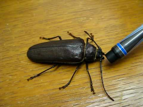 how to detect pine beetles