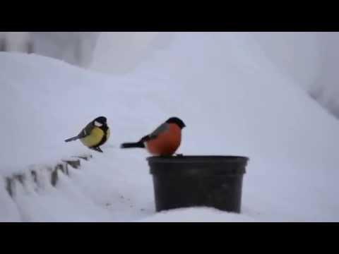 Раскраска Синица Раскраски Птицы