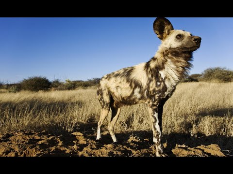 I Have A Pet African Wild Dog