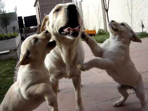 Cachorros labrador retriever 2 meses ciempozuelos youtube - Comida para cachorros de un mes ...