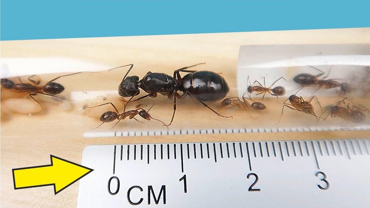 Я завел Огромных Агрессивных и Кусачих Африканских муравьев! alex boyko