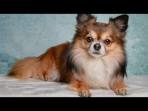 Amazing Facts on Chihuahua | In Hindi | Dog Fact | Animal Channel Hindi
