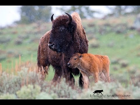 Yellowstone Bison Slaughter 2016