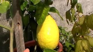 Hodowla, uprawa cytryny duże owoce w warunkach domowych - POLSKA/POLAND