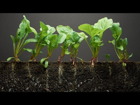 Our Time Lapse Photo Sequence Tulips Go >> Spinach Time Lapse 40 Days Soil Cross Section Youtube