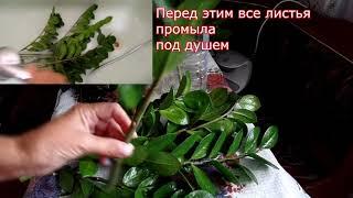 Выбросили замиокулькас . Реанимация  неприхотливого экзотического растения из восточной Африки.