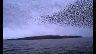 Sığırcık dalgası
