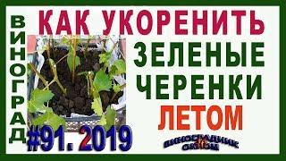 🍇 Размножение винограда зелеными черенками летом. Выращивание саженцев из зеленых черенков.