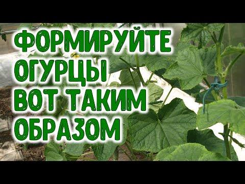 ФОРМИРУЙТЕ ОГУРЦЫ ВОТ ТАКИМ ОБРАЗОМ ЛАЙФХАК