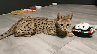 Group of Savannah cats playing in their room