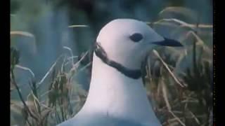 Розовая чайка. В объективе животные 1985