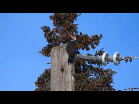 Pileated Woodpecker And Rare Communication With Mate