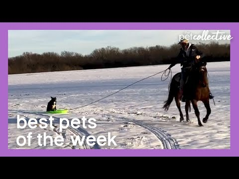 Border Collie Gets a Sleigh Ride | Best Pets of the Week